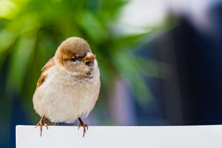 Sparrow on green and unfocused background Standard-Bild - 134971797