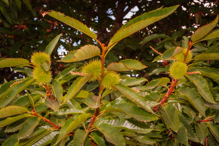 chestnuts still in the tree pending to mature. fruits of autumn