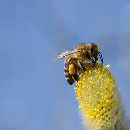 bee in a willow Stock Photo