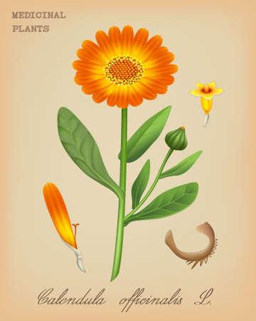 calendula: Vector illustration of medicinal plant Calendula officinalis (pot marigold) in retro style
