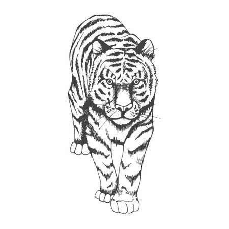 Tiger. Black and white hand drawing. Vector stock illustration