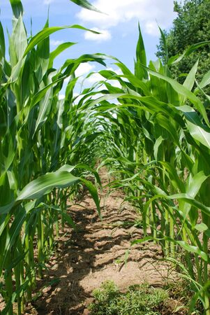 mais: a mais corn field, agriculture Stock Photo
