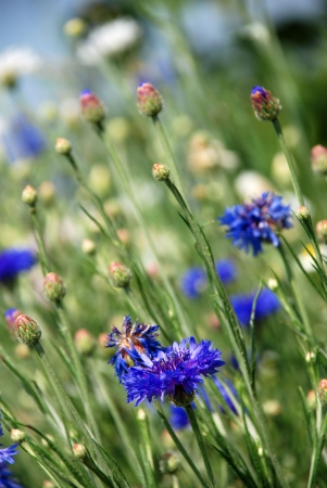 wild flowers with corn flowers and others, meadow of flowers photo