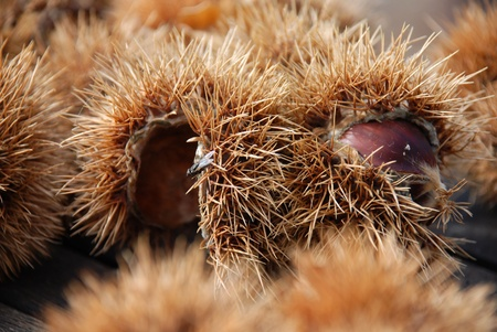 maronite: two sweet chestnuts in detail with many other sweet chestnuts in the background