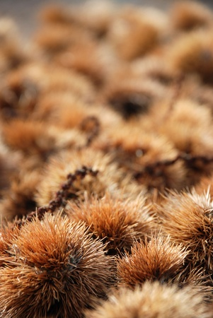 maronite: many sweet chestnuts in their pods Stock Photo