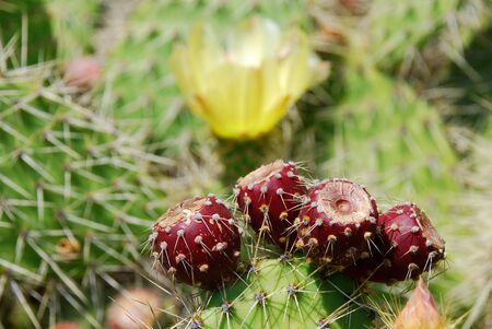 red cactus fruits on the cactus with a yellow cactus blossom in the background photo
