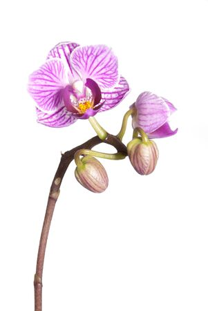 latent: white and purple orchid blossoms, isolated on white Stock Photo