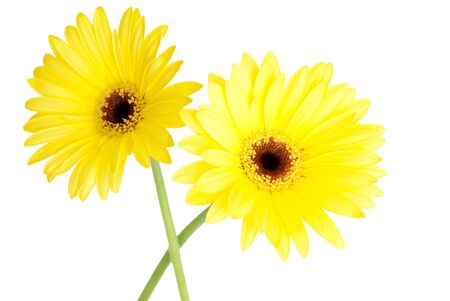 ablooming: two yellow gerbera blossoms, isolated on white Stock Photo