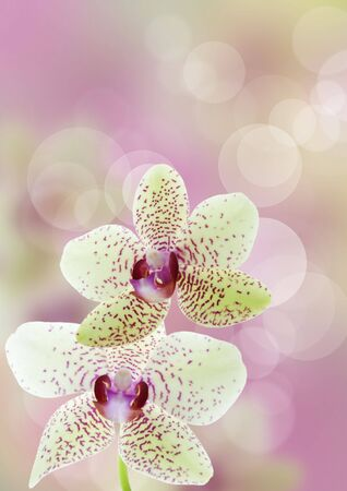 an purple white orchid flower background with bokeh background photo