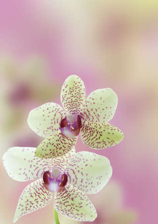 a orchid flower background in purple photo