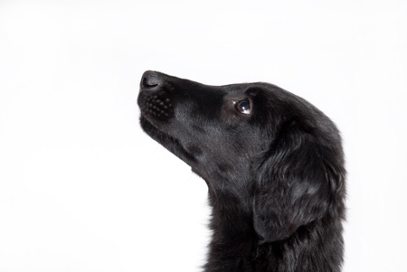 an observant black puppy, cutout of the head Stock Photo - 19278445