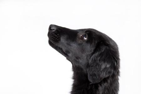 observant: an observant black puppy, cutout of the head