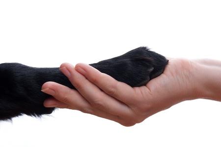 een handdruk tussen een hond en een persoon, geïsoleerd Stockfoto