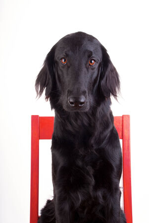 sitt: Huge Black Dog Sitting on a Red Chair, Isolated