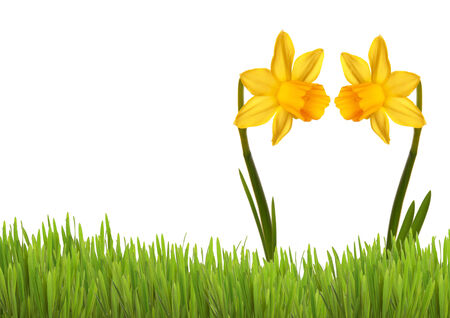 Two Yellow Daffodils in Love on a green Meadow photo