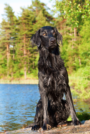 A Black Wet Dog Sitting in the Sun After a Bath in the Lake photo