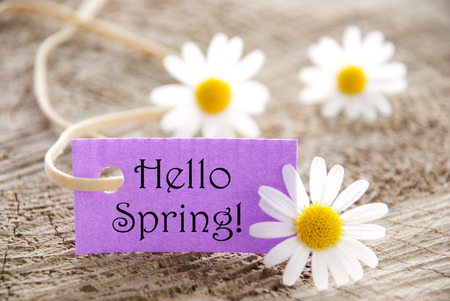 english text: Purpel Label With White Ribbon And English Text Hello Spring With Three White Marguerite Blossoms On Wooden Background