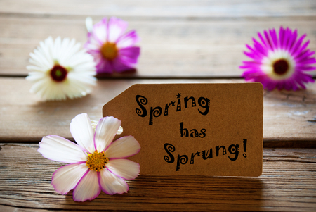 sprung: Brown Label With English Text Spring Has Sprung With Purple And White Cosmea Blossoms On Wooden Background Vintage Retro Or Rustic Style Stock Photo