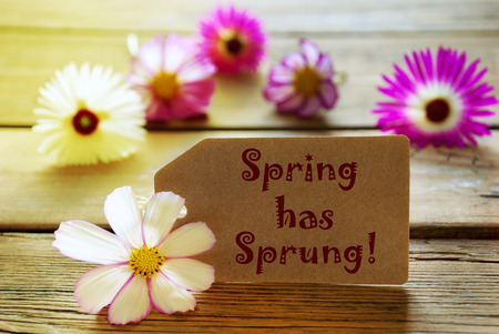 sprung: Brown Label With Sunny Yellow Effect With English Text Spring Has Sprung With Purple And White Cosmea Blossoms On Wooden Background Vintage Retro Or Rustic Style