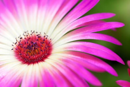 estival: Close Up Of A Pink Daisy Flower On A Green Flower Meadow Postcard Motive Or Background Motive Stock Photo