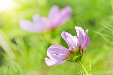 estival: Sunny Flower Meadow With Two Pink Daisy Flowers Close Up On Green Grass With Bokeh Effect Stock Photo