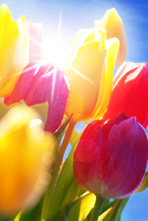 estival: Bunch Or Bouquet Of Tulip Flowers Or Flower Meadow With Sunny Bokeh Effect And Waterdrops Close Up  And Blue Sunny Sky As Background Decoration