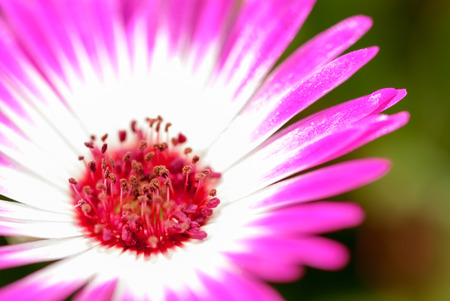 estival: Sunny Close Up Of A Pink Daisy Flower On A Flower Meadow Postcard Motive Or Background Motive Springtime Or Spring Flower