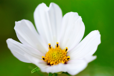 estival: Close Up Of A White Cosmea Flower On A Flower Meadow Postcard Motive Or Background Motive Stock Photo