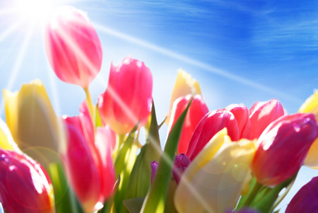 bunch up: Bouquet Or Bunch Of Tulip Flowers Or Flower Meadow As Close Up With Sunny Sunshine Effect And Blue Sky Stock Photo
