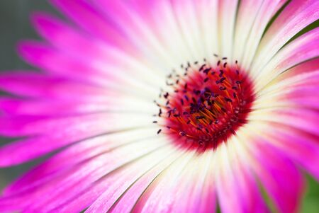 Close Up Of A Pink Daisy Flower On A Flower Meadow Postcard Motive Or Background Motive