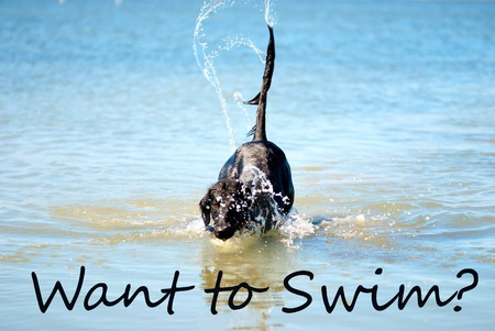 horizont: Black Flat Coated Retriever Dog Playing Or Swimming In The Ocean Or The Water Or Sea. English Question Want To Swim. Dog Has Fun And Enjoy The Water.