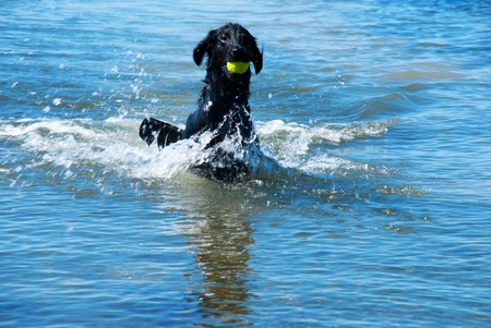 enjoy space: Black Flat Coated Retriever Dog Playing With Tennis Ball in The Water Ocean Or Sea. Copy Space, Free Space Or Your Text Here For Advertisement. Dog Has Fun And Enjoy The Play. Stock Photo