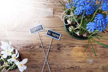 Two Signs With English Text Spring Is Here. Sunny Spring Flowers Like Grape Hyacinth And Crocus. Hemp Fabric Ribbon. Aged Wooden Background