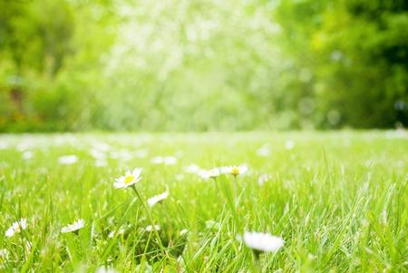 Sunny Spring Grass Meadow, Daisy Flowers Stock Photo