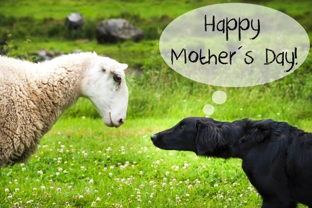 Dog Meets Sheep, Text Happy Mothers Day Stock Photo
