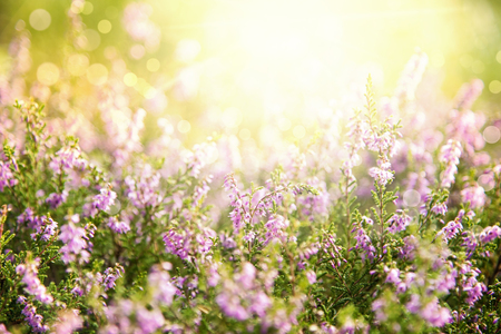 Erica Flower Field, Summer Season, Bokeh Stock Photo
