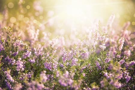 Erica Flower Field, Summer Season, Ruby Retro Filter
