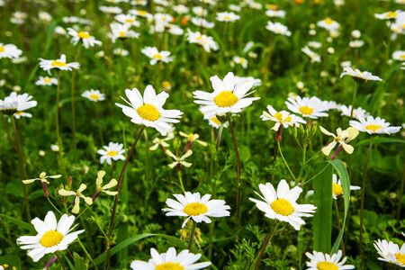 Beautiful Scenery Of Daisy Flower Meadow In Spring Season. Green Grass Background Or Texture