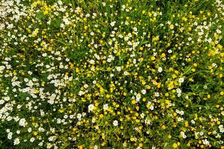 Top View Of Yellow And Daisy Flower Meadow, Green Grass, Spring Season Imagens