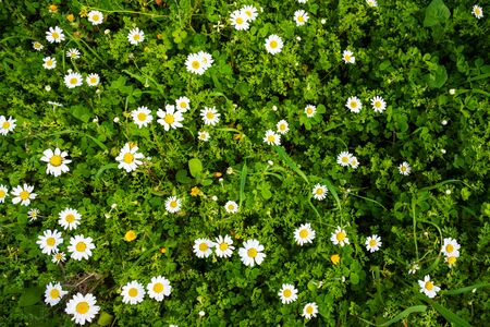 Beautiful Scenery Of Daisy Flower Meadow In Spring Season. Top View Of Green Grass Background Or Texture