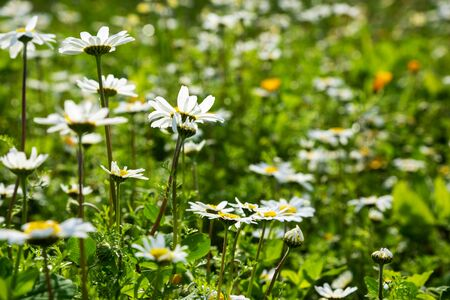 Beautiful Scenery Of Daisy Flower Meadow In Spring Season. Green Grass With Blurry Background