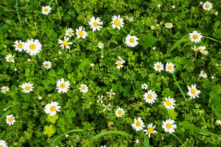 Top View Of Beautiful Scenery Of Daisy Flower Meadow In Spring Season. Green Grass Background Or Texture