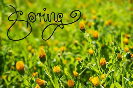 English Calligraphy Spring. Beautiful Scenery Of Daisy Flower Meadow In Spring Season. Green Grass Background Or Texture Imagens