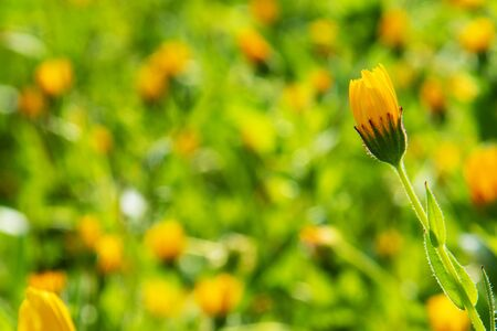 Beautiful Scene Of Yellow Spring Flower Meadow In Spring Season. Green Grass Background Or Texture Imagens