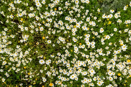 Texture Or Background Of Beautiful Daisy Flower Meadow In Spring Season With Green Grass