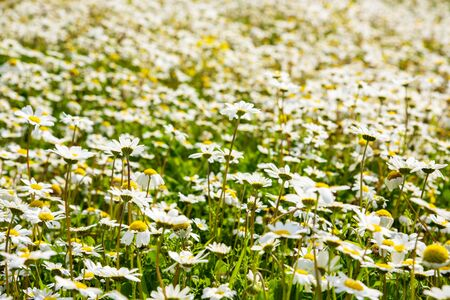 Beautiful Scenery Of Sunny White Daisy Flower Meadow In Spring Season. Green Grass Background Or Texture