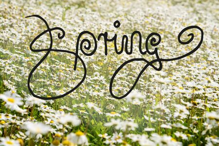 English Calligraphy Spring. Beautiful Scenery Of Sunny, White Daisy Flower Meadow In Spring Season.