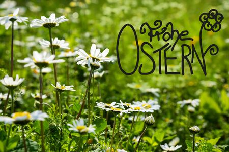 German Calligraphy Frohe Ostern Means Happy Easter. Beautiful Scenery Of Daisy Flower Meadow In Spring Season. Green Grass Background Or Texture Imagens