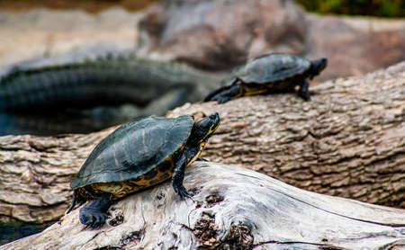 two small turtles goes over a rock Archivio Fotografico - 117802574