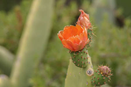 close up from a prickly pear Stock Photo